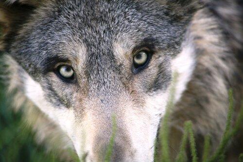 Жители сел обеспокоены нападениями волков на скот
