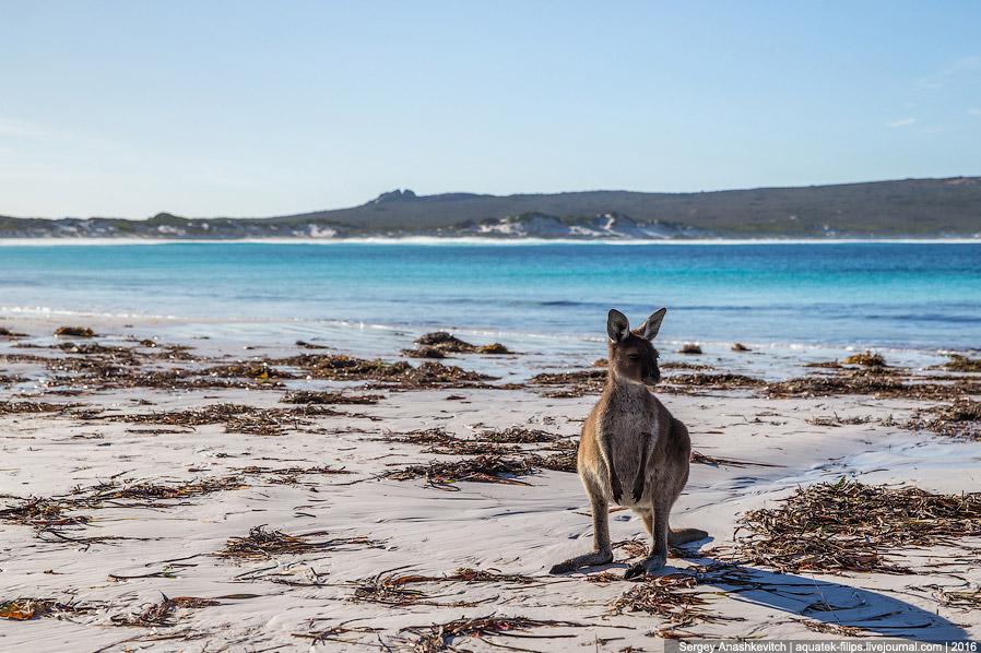 10. В день, когда мы сюда приехали, парочка кенгуру как раз копошилась в огромной горе водоросл