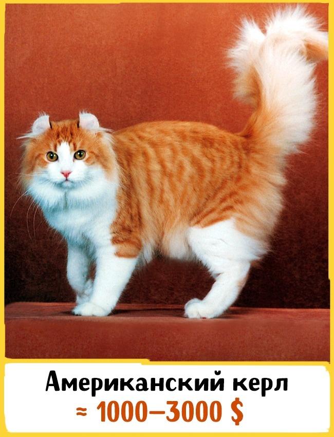 © catsinfo.com  Эта порода была выведена вКалифорнии в1981году. Новорожденных котят сложно