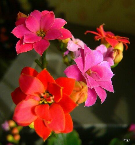 Цветет каланхоэ