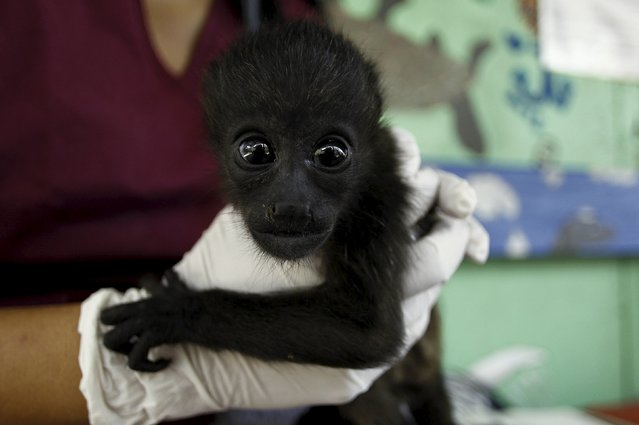 Veterinary Connie Tien, examines a rescued baby howler monkey at the Costa Rica Animal Rescue Center