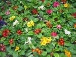 На фазенде рабыни Изауры.  (наши огородно-цветочные хвастики) - Страница 3 0_16ab71_4f65b536_S