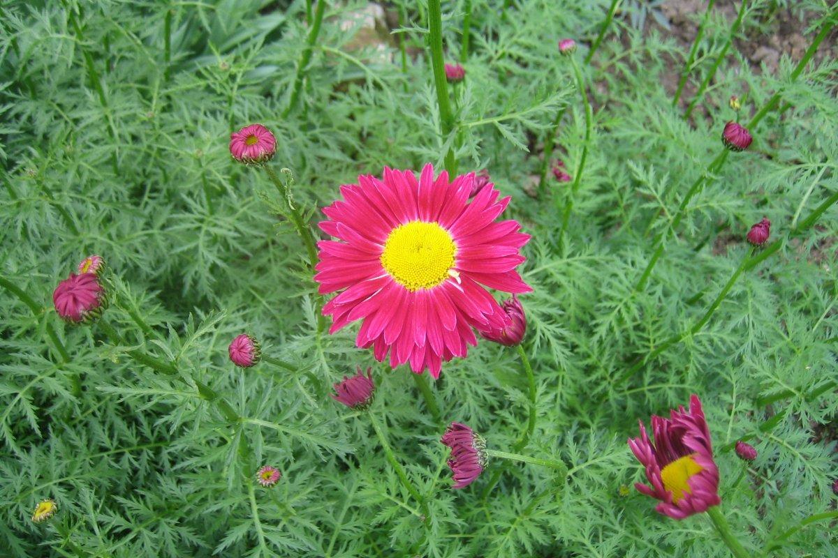 Многолетние цветы Пиретрум (ромашка) оптом