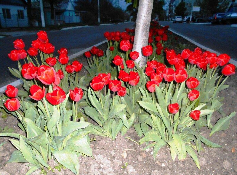 Вечером, у тюльпанов ... DSCN5184.JPG