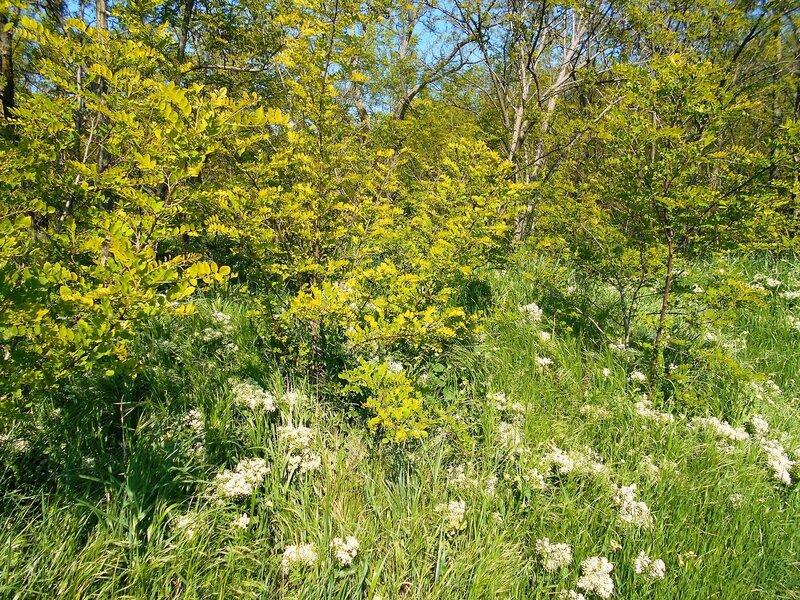 И в первый майский день лесной стены узор ... DSCN5397.JPG