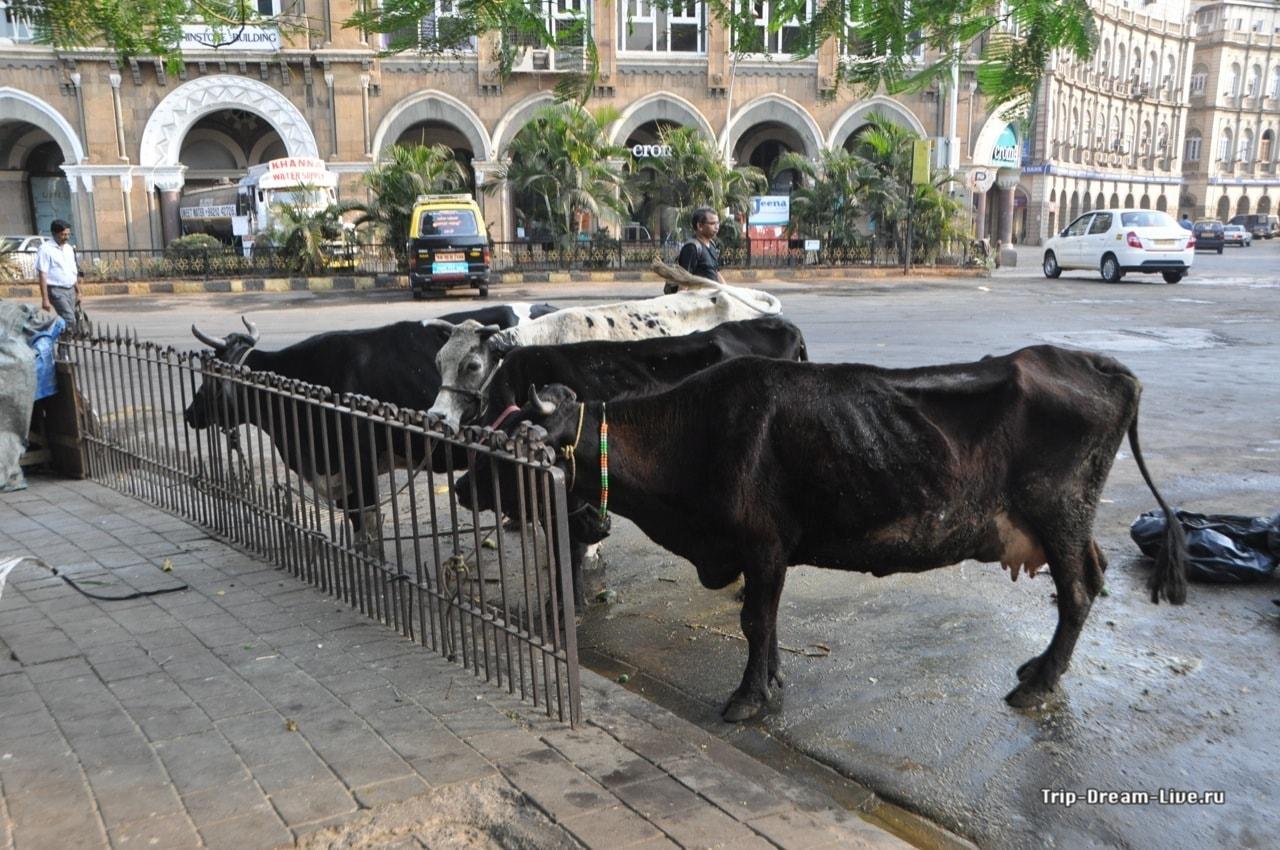 Кого удивишь коровами в центре Мумбаи