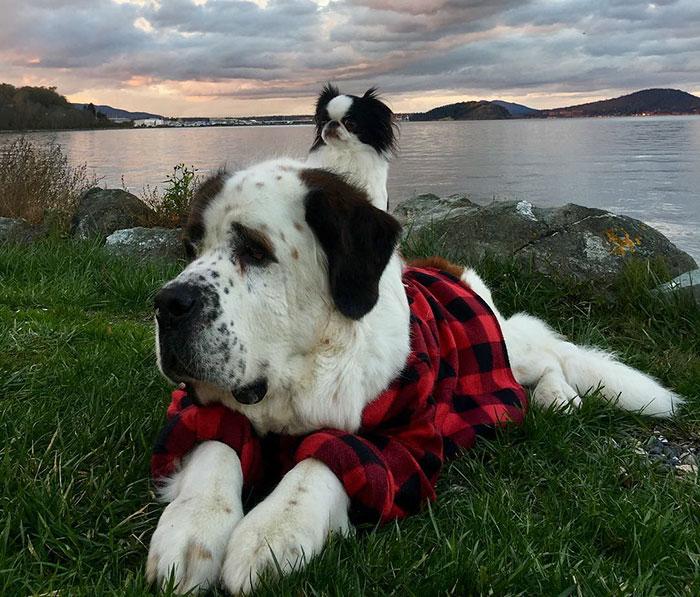 Теперь всегда, когда собаки выходят на прогулку или в поисках приключений, маленькая собачонка едет