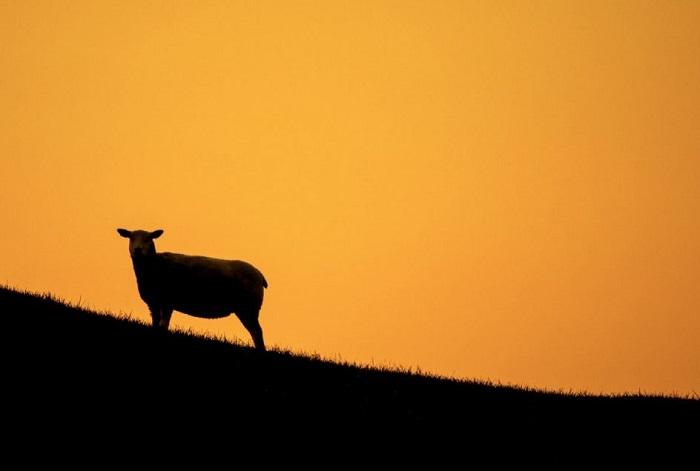 13. Овечка на фоне заката