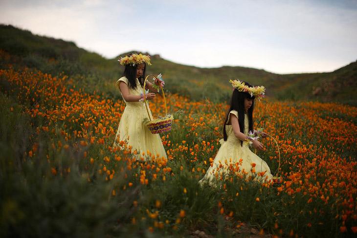 Цветущие поля Калифорнии (17 фото)