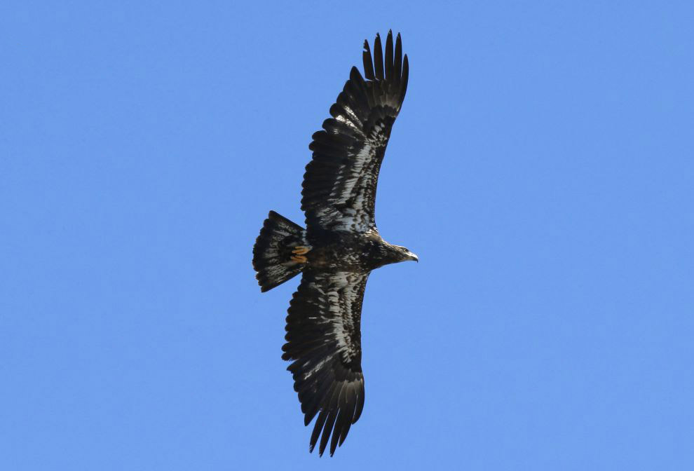 5. Белоголовый орлан находится на вершине пищевой цепи, за исключением человека у взрослых птиц