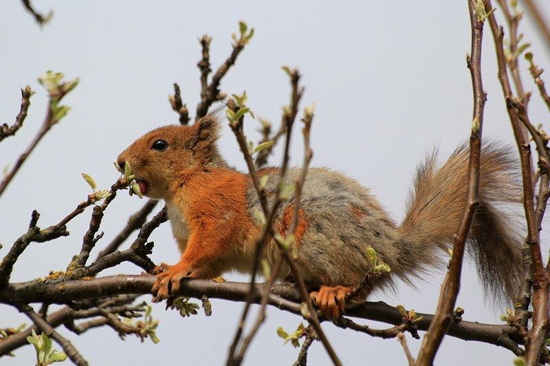 Линяющая из серой зимней шубки на рыжую летнюю, белочка грызёт яблоневые почки