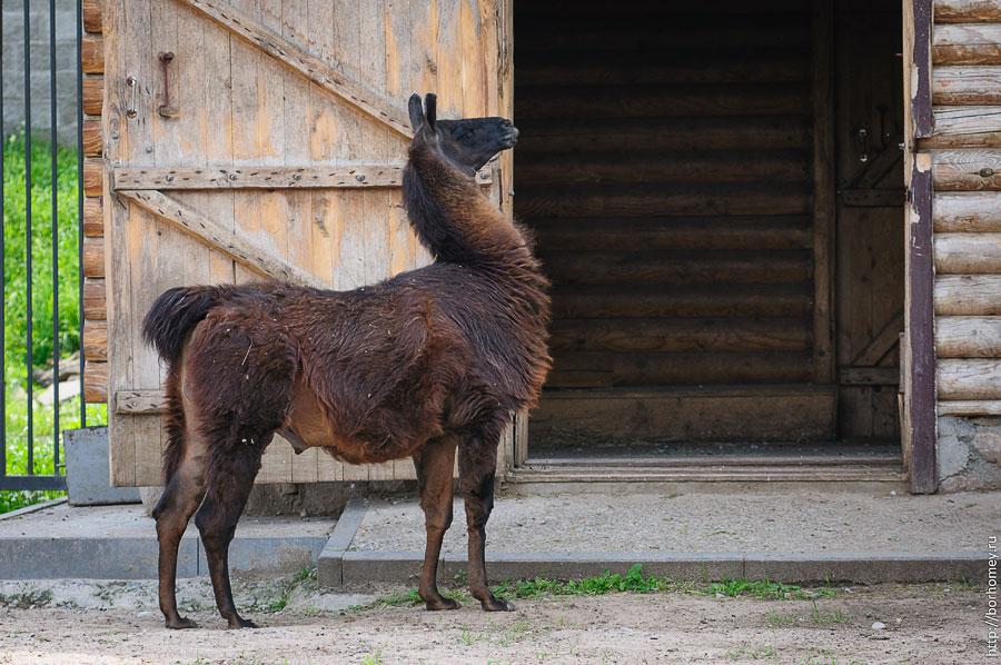фотография ламы в зоопарке