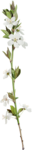 KMILL_floweringbranch.png