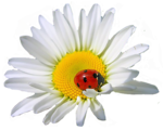 camomile (2).png