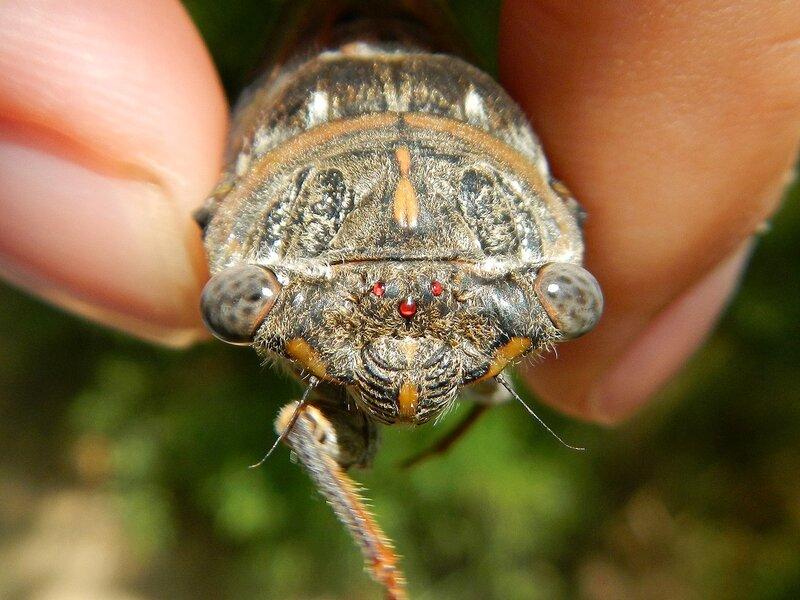 Три простых рубиновых глазка на лбу цикады