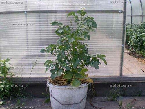 Выращивание картофеля в ведре