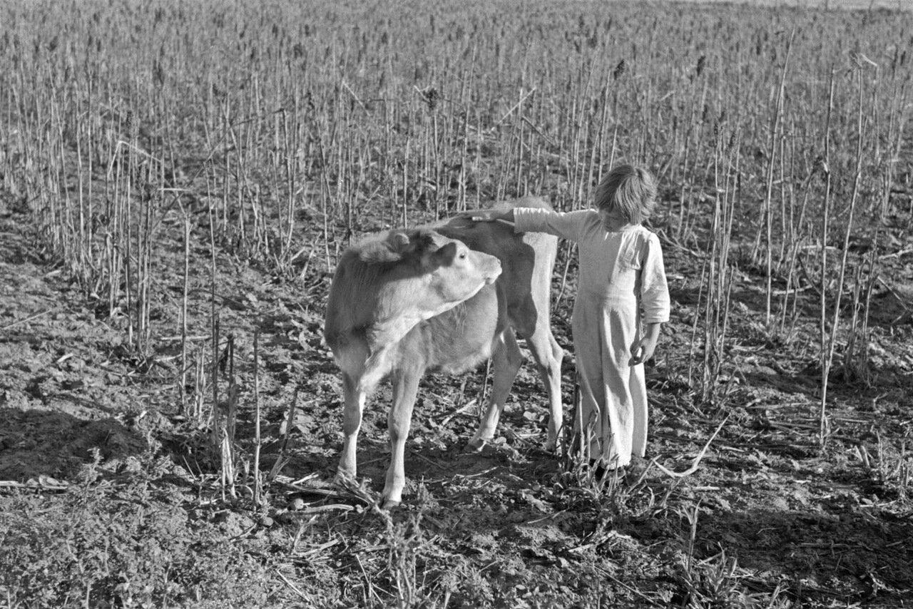 Девочка гладит теленка. Дочь арендатора неподалеку от Веслако, Техас, 1939