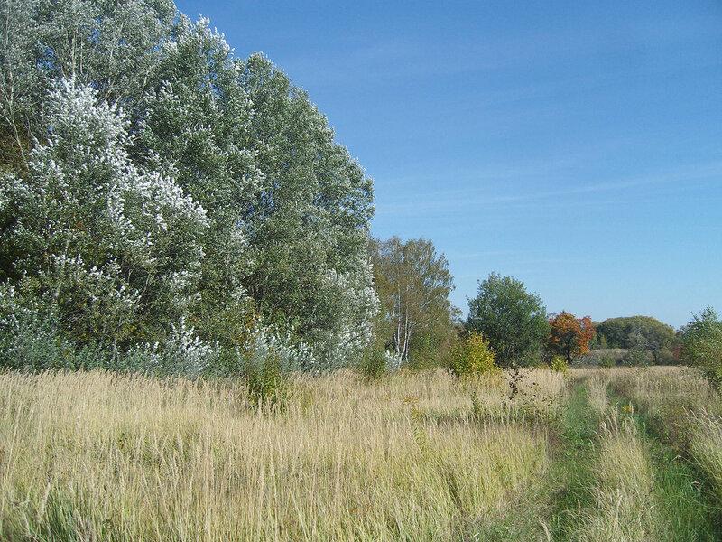 серебристые листья на сентябрьском ветру