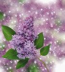 Lilac (2).jpg