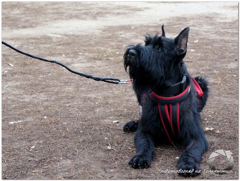 Выгул собак в Тольятти