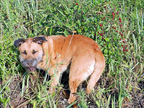 монгольский собак пржевальского