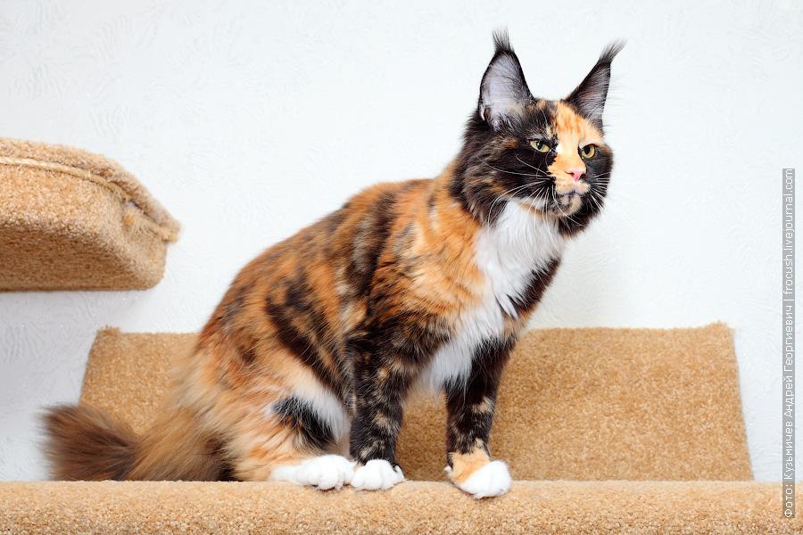котенок Мейн-кун черепаховый окрас