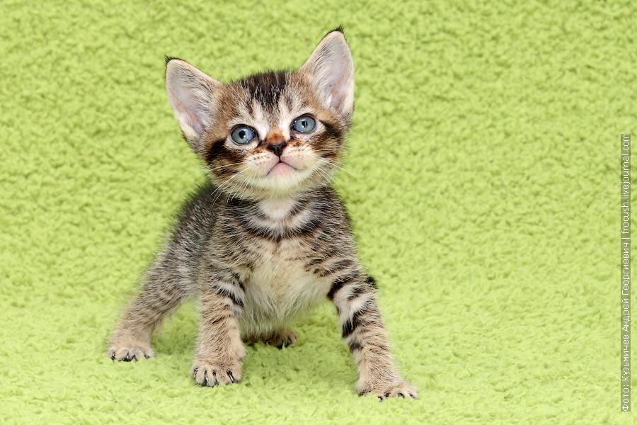 продажа Бомбейские котята из питомника в Москве