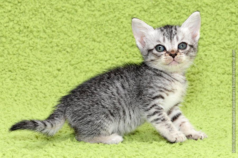 Бомбейские котята из питомника продажа