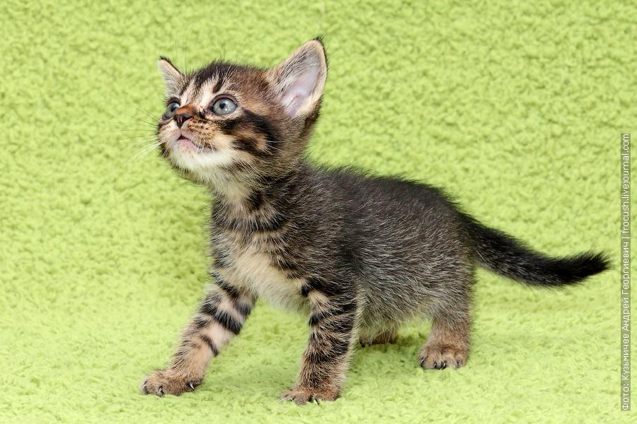 из питомника в Москве Бомбейские котята цена