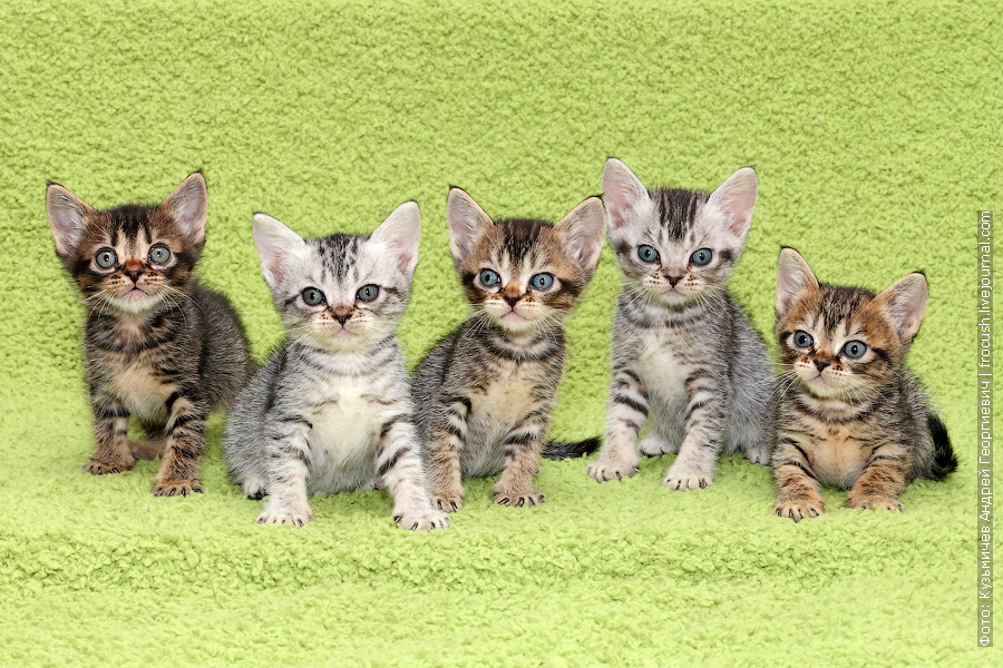продажа котят Бомбеев