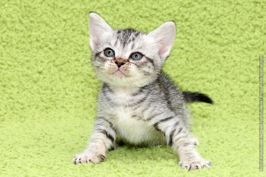 Бомбейские котята в Москве продажа