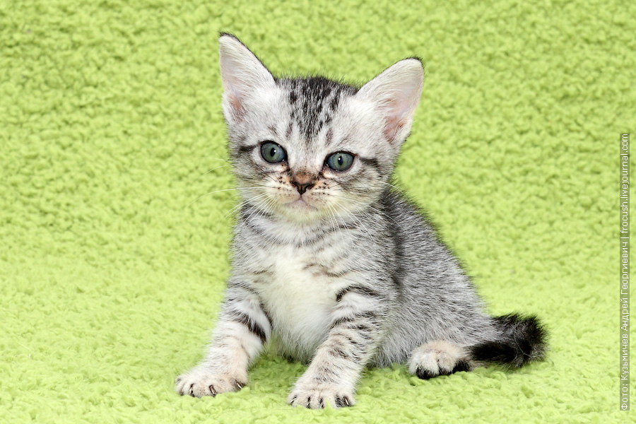 продажа в Москве Бомбейские котята