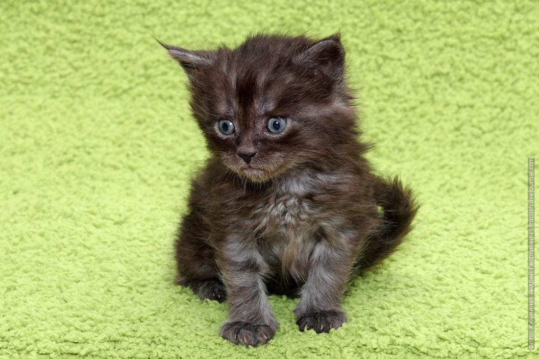 купить в питомнике котенка Мейн-кун