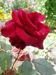 Роза - зацвёл прошлогодний черенок