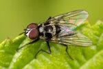 Двукрылые (Diptera)