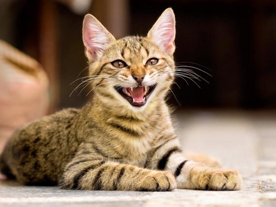 Почему кошка постоянно мяукает