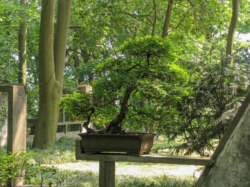 Карликовое деревце, бонсаи