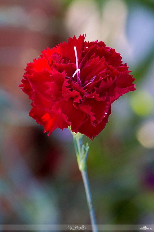 Я люблю все цветы, выпуск 74 | Гвоздика - божественный цветок.