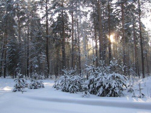 Сосновый бор в природном парке
