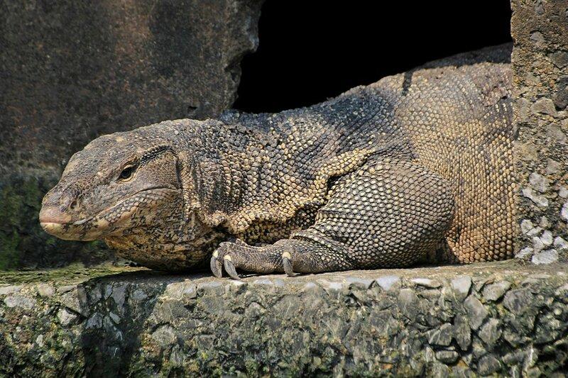 Полосатый варан (лат. Varanus salvator) выглядывает из трещины в бетонном ограждении канала Khlong Chak Phra в Таиланде