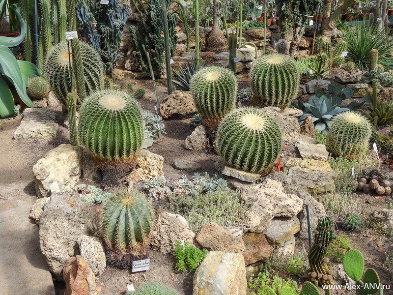 Такие кактусы у многих дома растут. Впрочем вряд ли такие же огромные.