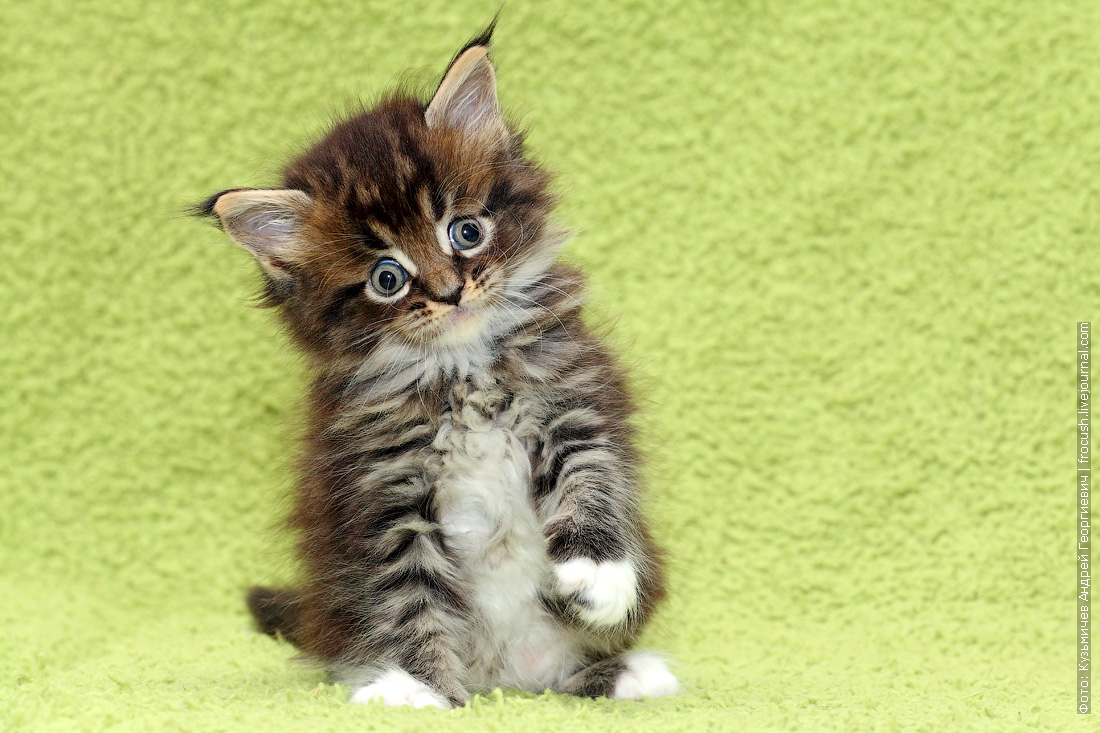 резервирование котята Мейн-кун