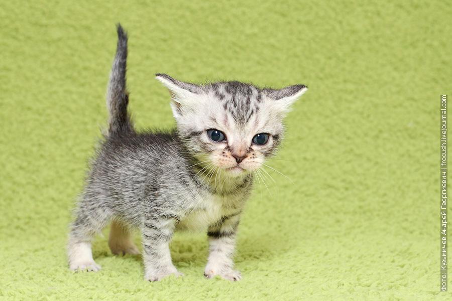 Бомбейские котята из питомника