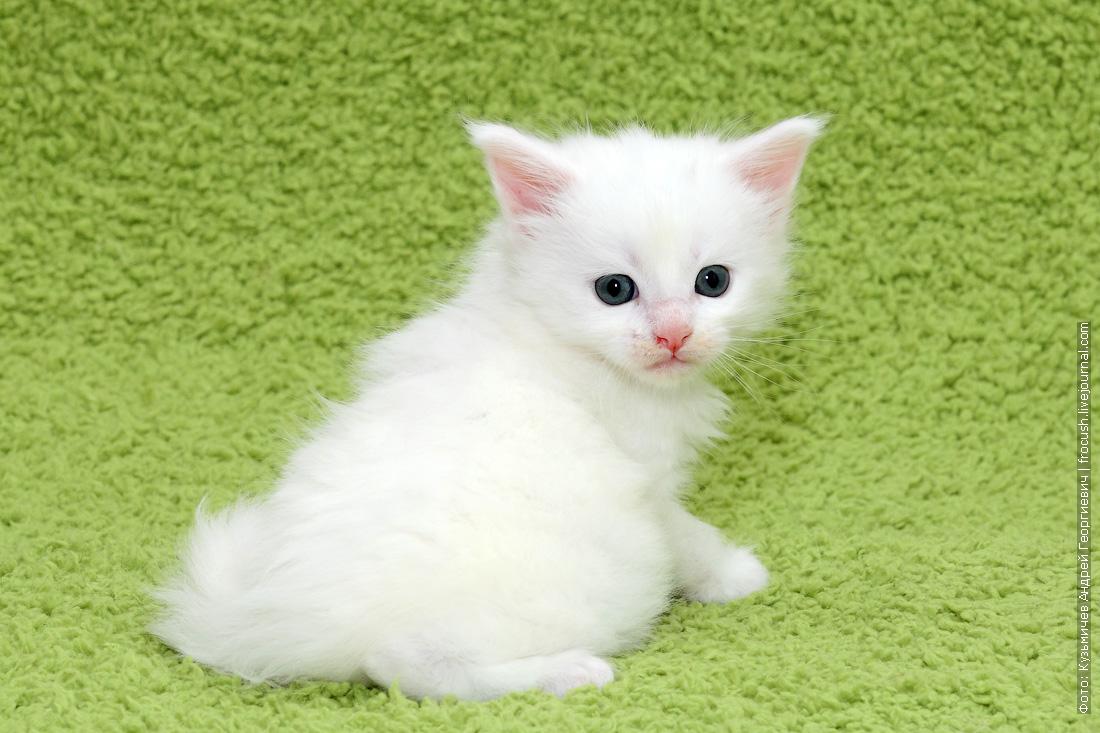 купить белого котенка Мейн-кун из питомника в Москве