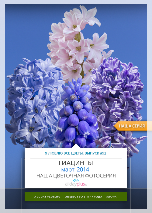 Я люблю все цветы, выпуск #92 | Гиацинты - «Локоны гурий».
