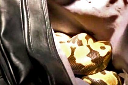 В сумке велосипедиста попавшего в ДТП обнаружили шаровидного питона