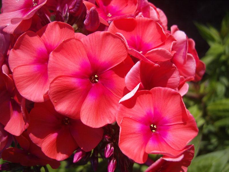 12 Многолетников для цветников, не требующие ухода - Флоксы