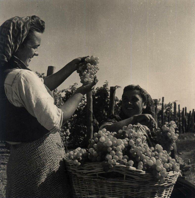 Румыния 1950-е - виноградник.jpg