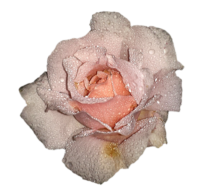 Анимашка роза на прозрачном фоне