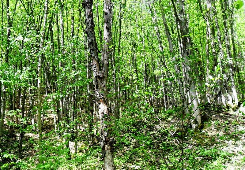 Лес, Весна ... SAM_7710.JPG